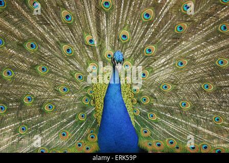 peacock - Stock Photo