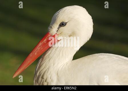 white stork - Stock Photo