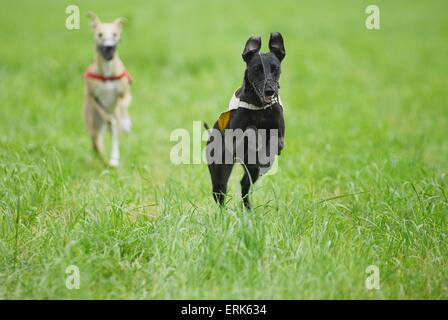 Whippets at Coursing - Stock Photo
