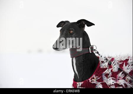 Galgo Espanol Portrait - Stock Photo