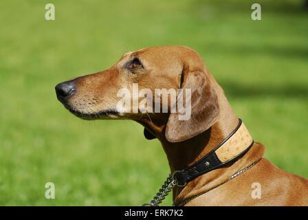 Azawakh Portrait - Stock Photo