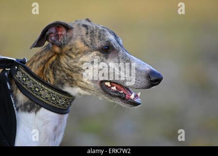 sighthound portrait - Stock Photo