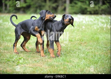 young Doberman Pinscher - Stock Photo