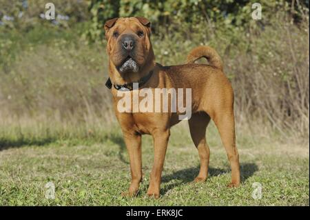 Shar Pei - Stock Photo
