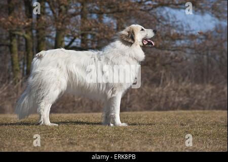 Great Pyrenees dog - Stock Photo