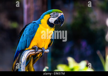 Blue and Gold or yellow Macaw parrot siting on metal perch in zoo - Stock Photo