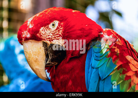 Closeup of head portrait of Red Macaw or Ara cockatoos parrot - Stock Photo