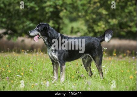 Louisiana Catahoula Leopard Dog - Stock Photo