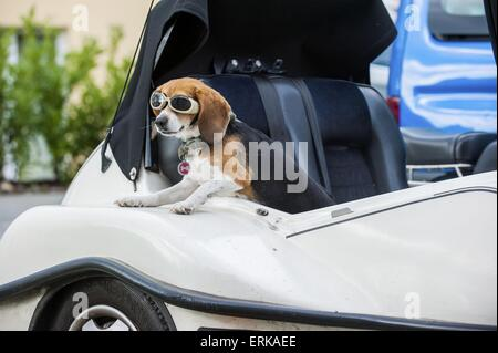 Beagle in car - Stock Photo