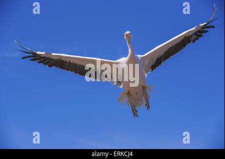 great white pelican Bird Park Marlow - Stock Photo