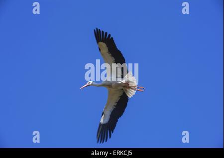 white stork Bird Park Marlow - Stock Photo