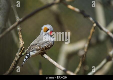 zebra finch Bird Park Marlow - Stock Photo