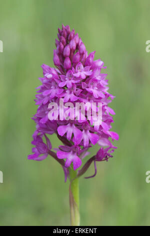 Pyramidal Orchid (Orchis pyramidalis), Rothenstein nature reserve, Thuringia, Germany - Stock Photo