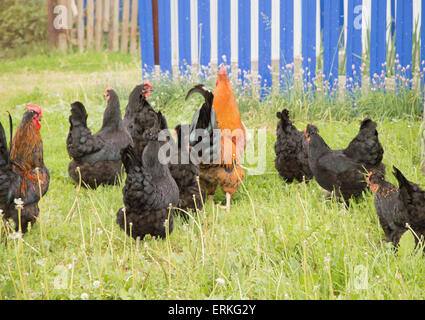black hens and red rooster - Stock Photo
