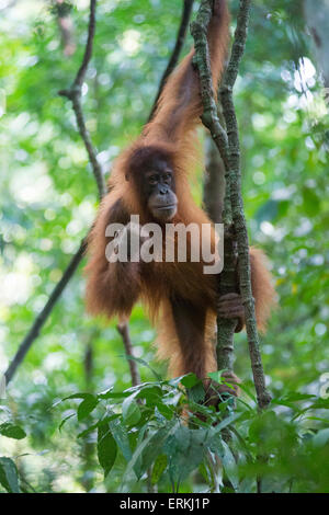 Sumatran orangutan, Pongo abelii, young in tree, Gunung Leuser National Park, northern Sumatra, Indonesia. - Stock Photo
