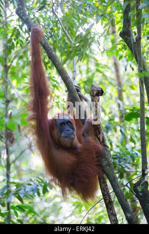 Sumatran orangutan, Pongo abelii, Gunung Leuser National Park, northern Sumatra, Indonesia. - Stock Photo