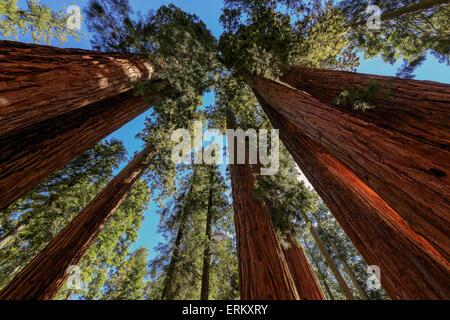 Giant sequoia trees closeup in Sequoia National Park, California, USA