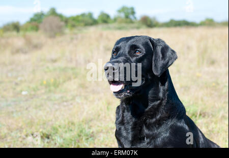 Close up of black Labrador dog outdoors - Stock Photo