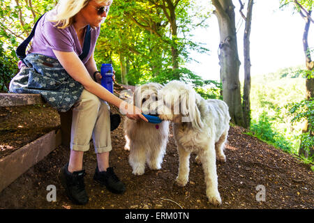 2 two dogs drinking water from bowl held by owner cute thirsty dehydration drink lapping on walk outside bearded - Stock Photo