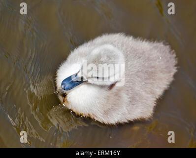Mute Swan Cygnet (cygnus olor), Abbotsbury Swannery, Dorset, England - Stock Photo