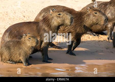 Family of wild Capybaras, Hydrochaeris hydrochaeris, on the bank of a river in the Pantanal, Brazil, South America - Stock Photo