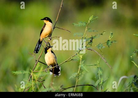 A pair of Black-capped donacobius, Donacobius atricapilla, Pantanal, Mato Grosso, Brazil, South America - Stock Photo