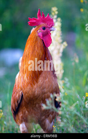 Portrait of young Rooster standing in grass - Stock Photo