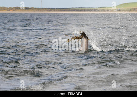 Bottlenose dolphin (Tursiops truncatus) playing with seaweed, Chanonry Point, Moray Firth, Scotland, UK - Stock Photo