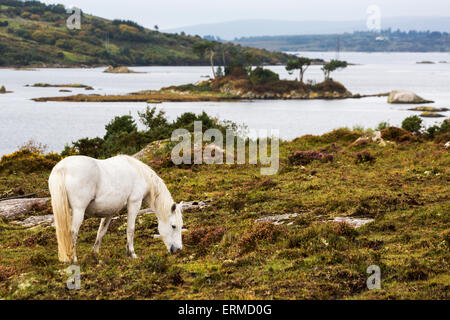 Single white horse in scrubby field with bay and island in background; Clifden, County Galway, Ireland - Stock Photo