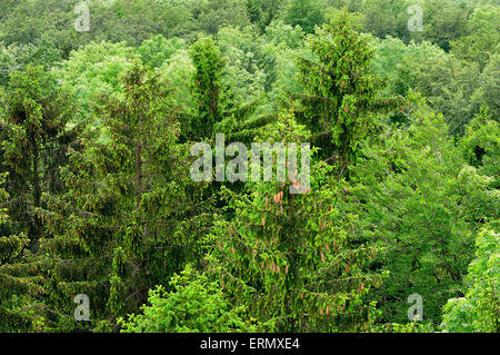 Aerial view of a mixed forest, spruce (Picea abies), beech (Fagus sylvatica) and wild cherry (Prunus avium), Baden - Stock Photo