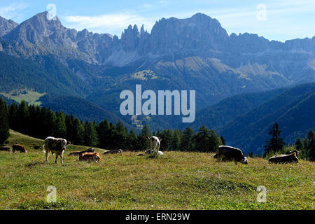 Alpine cows on meadow resting in front of the Rose Garden mountain group, Tiers,Tires, Alto Adige, South Tyrol, - Stock Photo