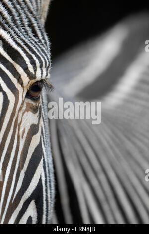 Grevy's Zebra (Equus grevyi) portrait, abstract close up, Cabarceno Natural Park, Cantabria, Spain. - Stock Photo