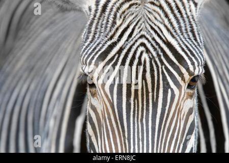 Grevy's Zebra (Equus grevyi) portrait, close up, Cabarceno Natural Park, Cantabria, Spain. - Stock Photo