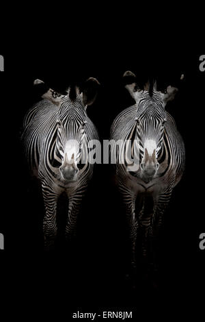 Two Grevy's Zebras (Equus grevyi) standing in the dark in the stable entrance, Cabarceno Natural Park, Cantabria, - Stock Photo