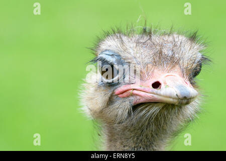 Ostrich (Struthio camelus) portrait close up, Cabarceno Natural Park, Cantabria, Spain - Stock Photo