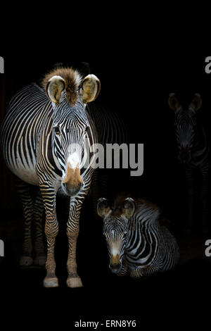 Grevy's Zebras (Equus grevyi) mother standing in the dark in the stable entrance with foal lying down, Cabarceno - Stock Photo
