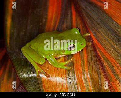 Tiny bright green tree frog, Litoria caerulea with gleaming eyes on red striped leaf of Cordyline fruticosa in garden - Stock Photo