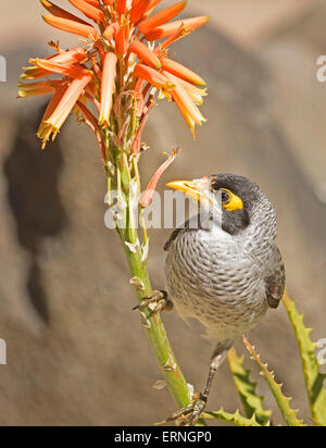 Noisy miner bird, Manorina melanocephala, feeding on orange flowers of aloe, drought tolerant succulent plant, in - Stock Photo