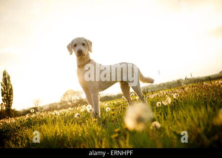 Picture by Matt Gore ipm Labradoodle dog in a field of dandelions on a summers evening - Stock Photo
