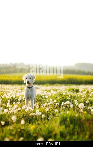 Labradoodle dog in a field of dandelions - Stock Photo
