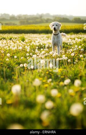 Labradoodle pet dog in a sunny field of dandelions - Stock Photo