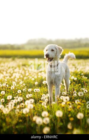Labradoodle dog in a field of dandelions on a summers day - Stock Photo