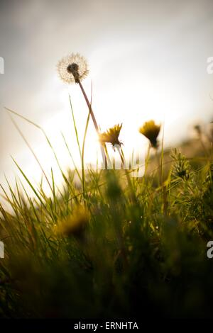 Single dandelion wild flower in the sunlight - Stock Photo
