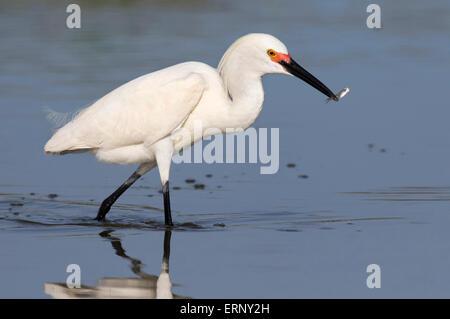 Snowy egret (Egretta thula) fishing in tidal marsh, Galveston, Texas, USA. - Stock Photo