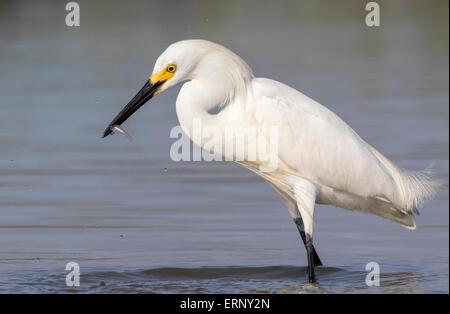Snowy egret (Egretta thula) hunting in shallow water of tidal marsh, Galveston, Texas, USA. - Stock Photo