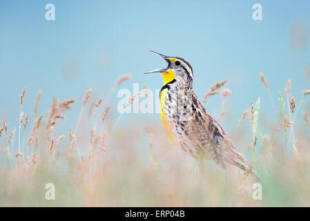 A western meadowlark (Sturnella neglecta) sings to alert rivals and potential mates of his presence, Western Montana - Stock Photo