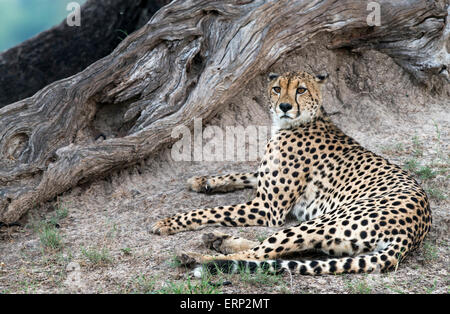 Adult cheetah (Acinonyx jubatus) resting under a tree at Hwange National Park  Zimbabwe Africa - Stock Photo