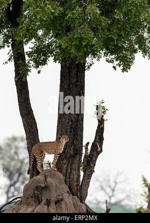 Adult cheetah (Acinonyx jubatus) on lookout at Hwange National Park  Zimbabwe Africa - Stock Photo