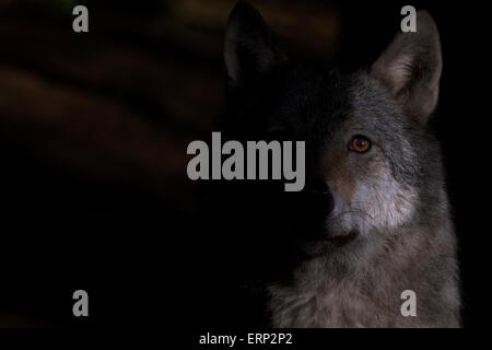 Portrait of a Grey wolf in early morning sunlight. - Stock Photo