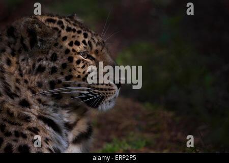 Portrait of an Amur leopard in early morning sunlight. - Stock Photo